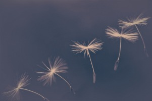 dandelion-4195782_1920